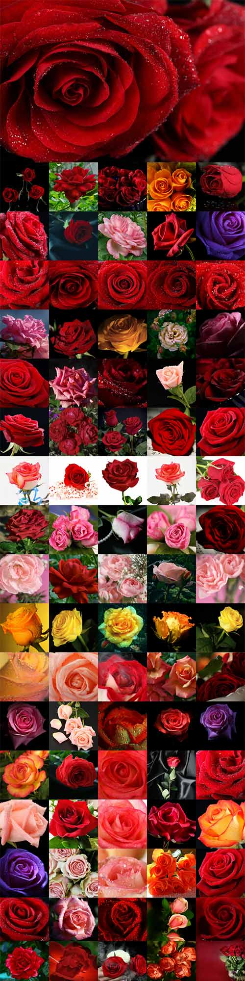 280 beautiful roses